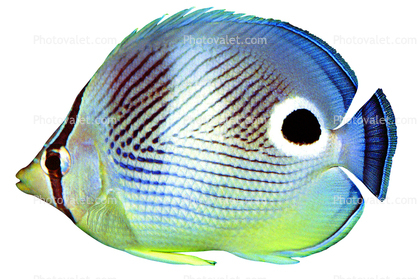 Four-eyed Butterflyfish, (Chaetodon capistratus), Perciformes, Chaetodontidae, Foureye Angelfish, photo-object, object, cut-out, cutout