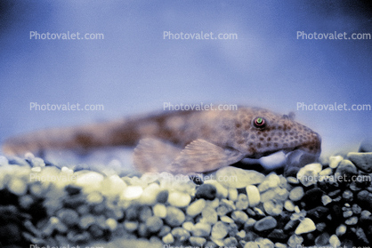 Plecostomus, Sucker-mouth Catfish, (Hypostomus plecostomus), Siluriformes, Loricariidae, armored catfish family