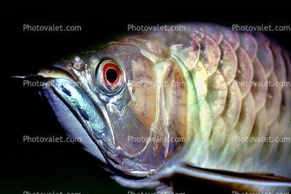 Asian Arowana, (Scleropages formosus), Osteoglossiformes, Osteoglossidae, endangered species