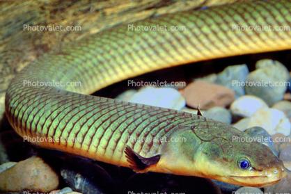 Afbeeldingsresultaat voor reed fish