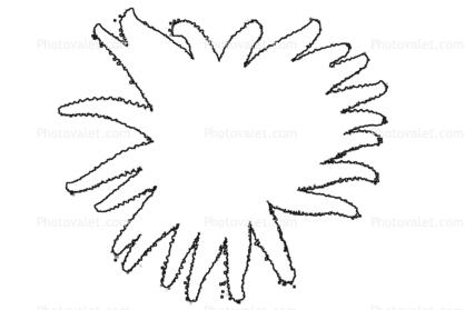 sunflower star outline pycnopodia helianthoides starfish line