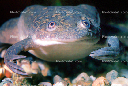 African Clawed Frog, (Xenopus laevis), Pipidae