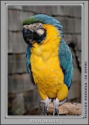 Blue and Gold Macaw, Parrot