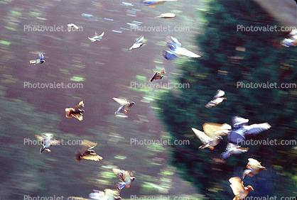 Pigeons in flight, flying, airborne