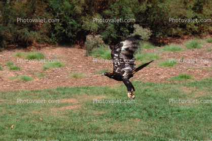 Wedge Tailed Eagle, Talons, flight, flying, Feathers