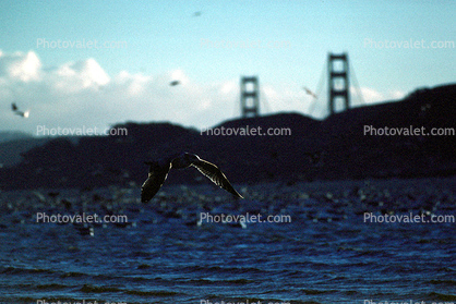seagulls, Golden Gate Bridge