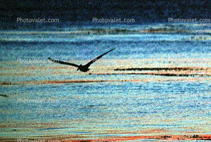Pelican, Malibu, California, Sunset, Sunclipse