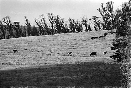 Cow, Rose Avenue, Cotati, Sonoma County, Cows, Eucalyptus