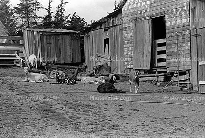 goats, barn, Shed, outdoors, outside, exterior, rural, building, Cotati, Sonoma County