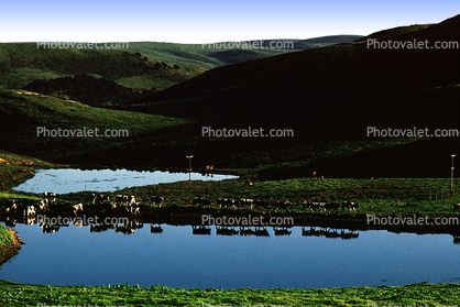 Cows, Pond, Lake, Reflection