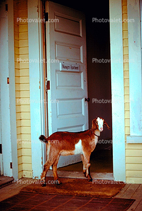 Goat, Door, Home, Entrance
