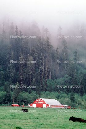 Barn, Cows, Fog, Hills, Trees, north of Eureka, Humboldt County, Beef Cows