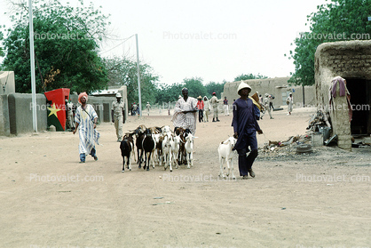 Goats, buildings, road