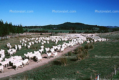 Sheep, South Island, New Zealand