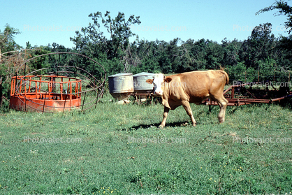 Cow, New Boston, Texas