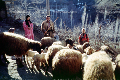 Sheep, Hezar Hani, Iran