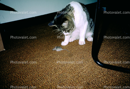 catching a mouse, My Cat, Mortimer
