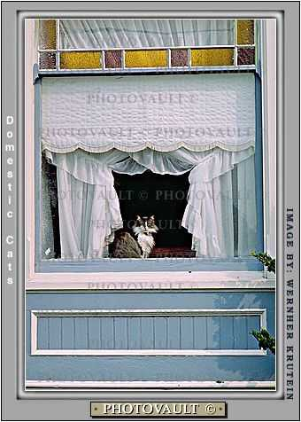 Cat in a Window, Drapes, Curtains