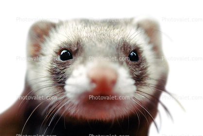 Ferret, photo-object, object, cut-out, cutout