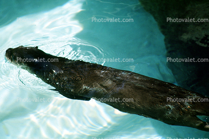 North American River Otter, (Lontra canadensis), Mustelidae, Lutrinae