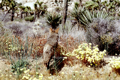 Coyote, Joshua Tree National Monument
