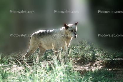 Gray Wolf, (Canis lupus)