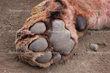 Lion  Female  Paw  Footprint  African Lion Footprints