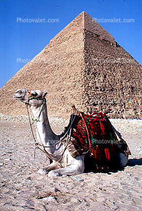Dromedary Camel, (Camelus dromedarius), Camelini, The Great Pyramid of Cheops, Giza