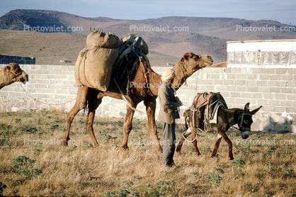 Camel and  a Mule, Donkey
