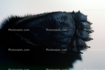 Hind Foot of a Grizzly Bear, claws, paw, footprint