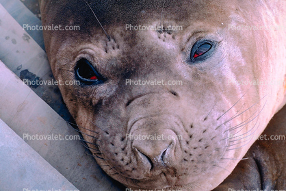 Weddell Seal face, eyes, (Leptonychotes weddellii)