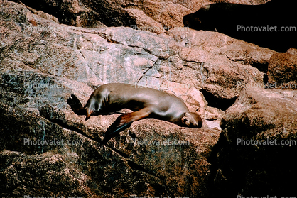 Seal basking in the Sun, Cabo San Lucas, Baja California Sur