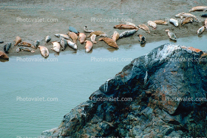 Harbor Seals, Russian River Mouth, Pacific Ocean, Sonoma County
