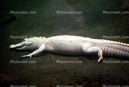 American Alligator, (Alligator mississippiensis), Crocodylia, Alligatoridae
