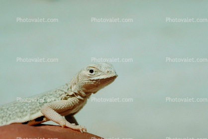 Bleached Earless Lizard, White Sands National Monument, New Mexico