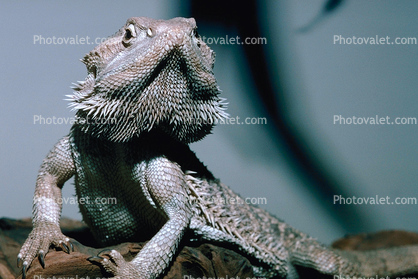 Bearded Dragon, (Pogona vitticeps), Lacertilia, Agamidae