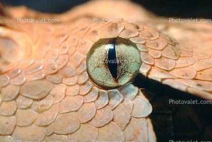 Gaboon Viper Eyes