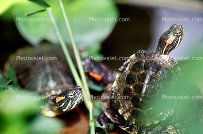 Red Eared Slider, (Trachemys scripta), Emydidae, Turtle, freshwater