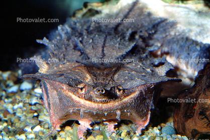 Smiling Turtle, smiles, face, Snout, Mata Mata, Matamata