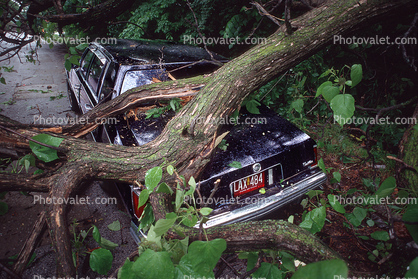Fallen Tree, Cadillac, Crushed Car
