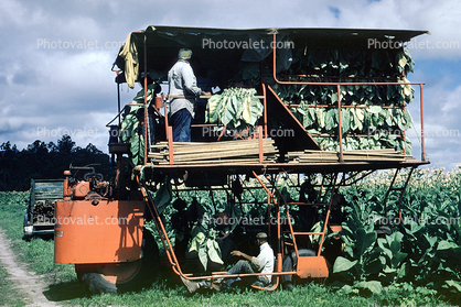 Harvesting Tobacco Leaves, harvester, machine, heavy equipment