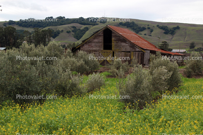 Barn, Olive Trees, yellow flowers