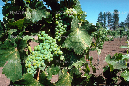 White Wine, Leaves, Grape Cluster