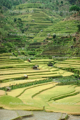 Rice paddy, terrace