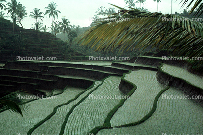 terrace, rice, Terraced Rice Fields, Island of Bali