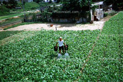 Man, Male, Labor, Laborers, Harvesting, Hong Kong, China, Chinese, Asian, Asia