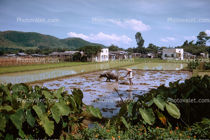 Rice Paddy, Ox, Oxen, Man, Male, Labor, Laborer, Plowing, Cow, Bull, Hong Kong, China, Chinese, Asian, Asia