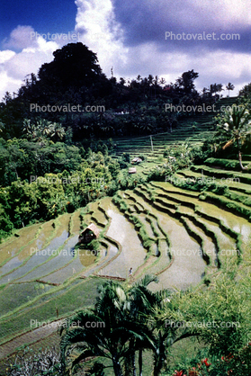 Rice Paddies, Grass Thatched Hut, shack, Sod