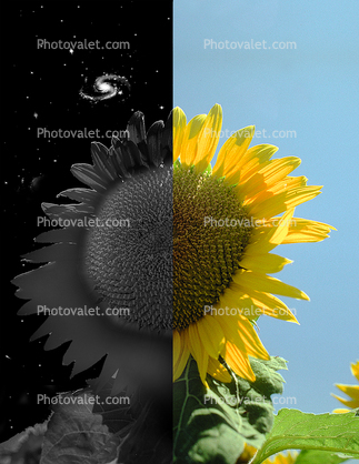 Day and Night, Sunflower Field, Dixon California