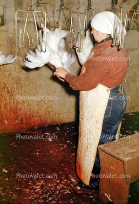 Slaughtering Chicken Woman Images Photography Stock